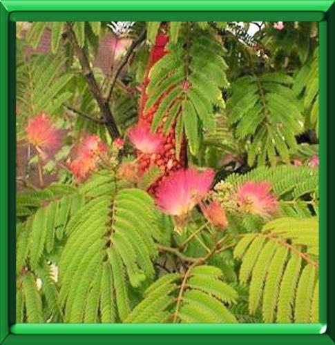 Acacia de constantinople ou albizia julibrissin fiche - Arbre ver a soie ...