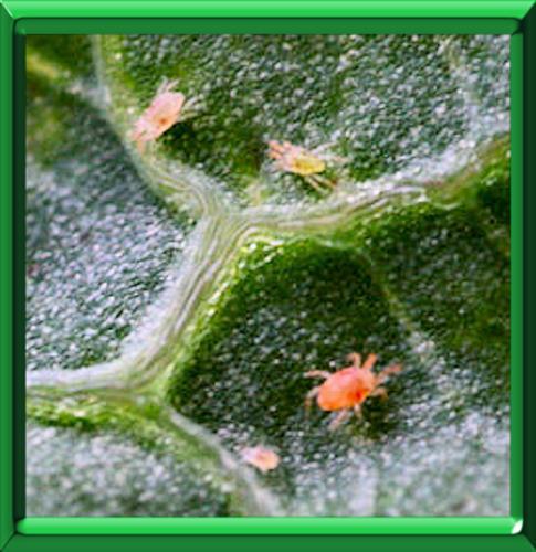 Acarien rouge - Araignee rouge traitement naturel ...