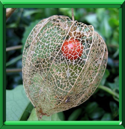 Amour en cage ou physalis alkekengi fiche technique compl te - Fruit cage d amour ...