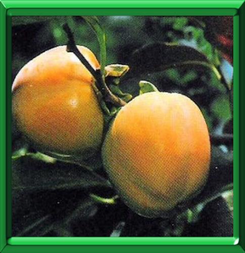 Arbre tomates ou diospyros kaki fiche technique compl te - Arbre a kaki ...