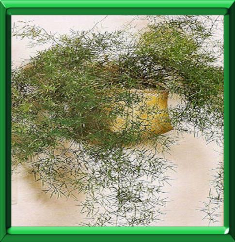 Asparagus fiche technique compl te - Comment planter des asperges ...