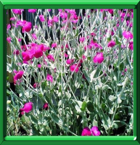 Coquelourde des jardins ou lychnis coronaria fiche - Coquelourde des jardins lychnis coronaria ...