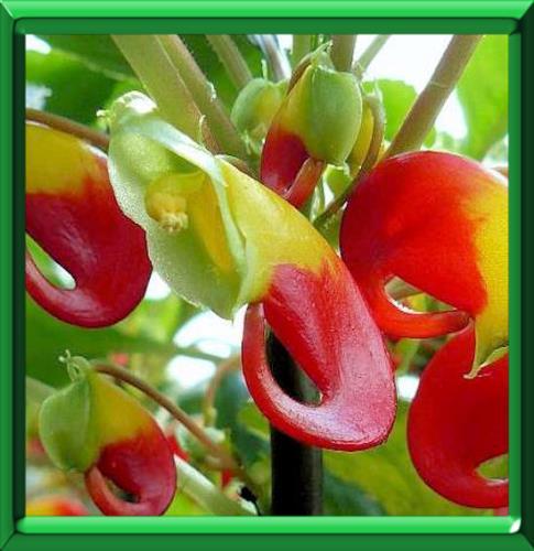Impatience de zanzibar ou impatiens niamniamensis fiche for Plante zanzibar