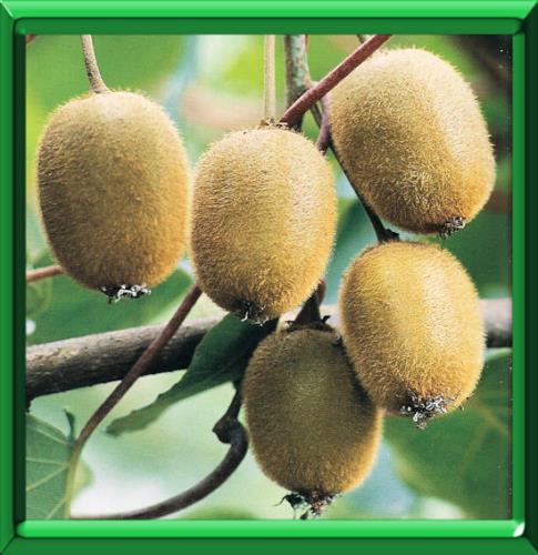 Kiwi ou actinidia chinensis ou actinidia deliciosa fiche technique compl te - Ou pousse le kiwi ...