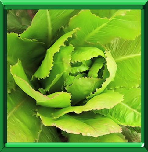plantation salade d hiver