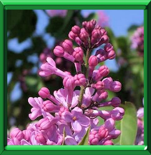 langage des fleurs dont le nom commence par l
