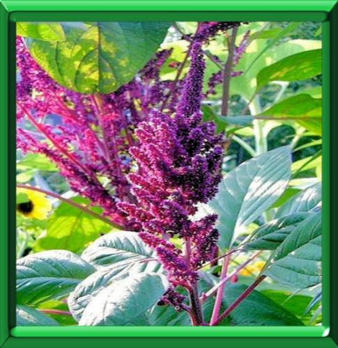 Langage des fleurs dont le nom commence par q - Fleur commencant par t ...