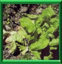 Maladies des vegetaux - Maladie de l olivier mousse blanche ...