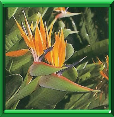 Oiseau de paradis ou strelitzia reginae fiche technique compl te - Plante oiseau de paradis ...