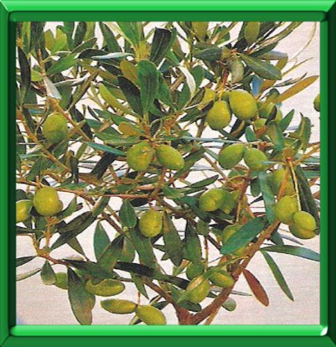 plantation d un olivier en pleine terre simple voir la vido with plantation d un olivier en. Black Bedroom Furniture Sets. Home Design Ideas