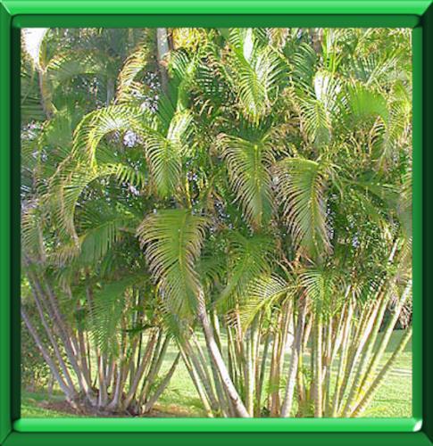 Palmier d 39 arec ou chrysalidocarpus ou areca ou dypsis - Palmier d exterieur ...