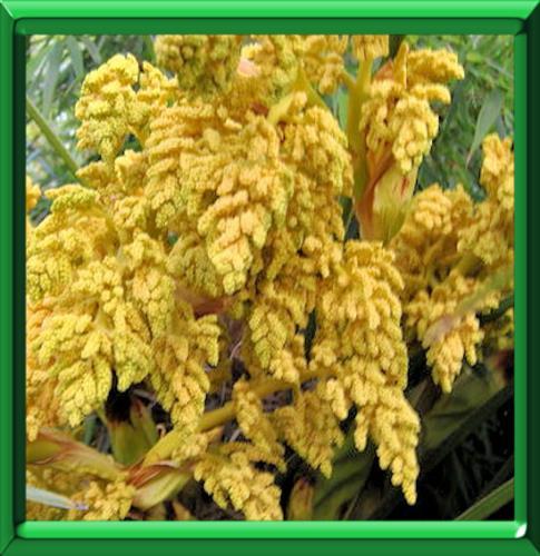 Palmier de chusan ou trachycarpus fortunei ou chamaerops - Quand couper les fleurs fanees des hortensias ...