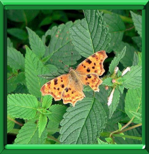 coup de pouce attirer les papillons dans son jardin. Black Bedroom Furniture Sets. Home Design Ideas