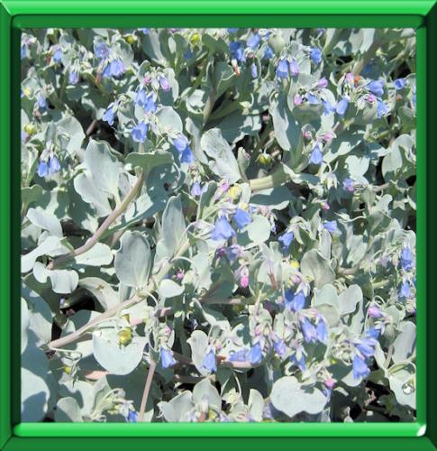 Plante a huitre ou mertensia maritima fiche technique for Plante huitre