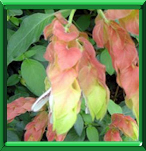 Plante aux crevettes ou beloperone guttata fiche for Ou acheter plante
