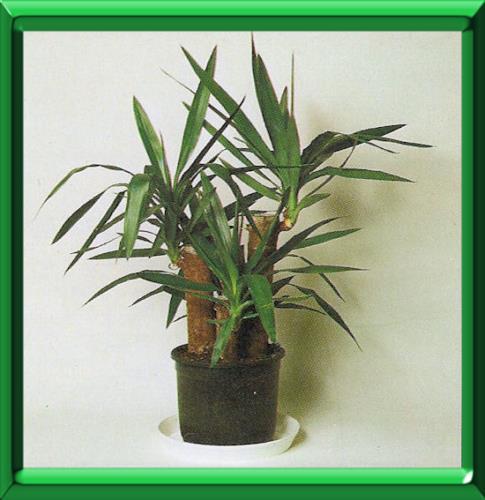 planter une pousse de yucca