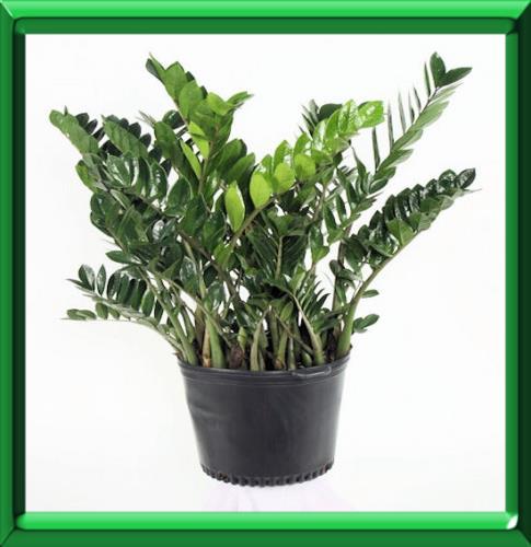 planter un zamioculcas